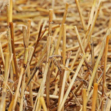 Słomki ekologiczne ze słomy – naturalny wyrób